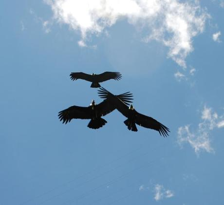 The Hacienda Zuleta is involved in a project to monitor the few remaining Andean Condors in Ecuador (estimated to be 50-60 individuals), as well as caring for injured condors. We had the great good fortune to see three wild condors directly overhead. (Photo credit: Laura Nielsen)