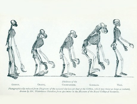 skeleton-of-the-gibbon-orang-chimpanzee-gorilla-and-man