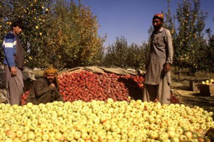 Afghanistan apples