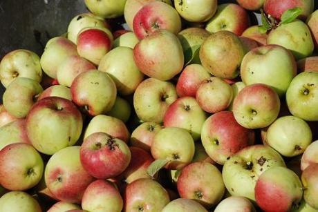 Apples! (photo credit: Laura Nielsen)
