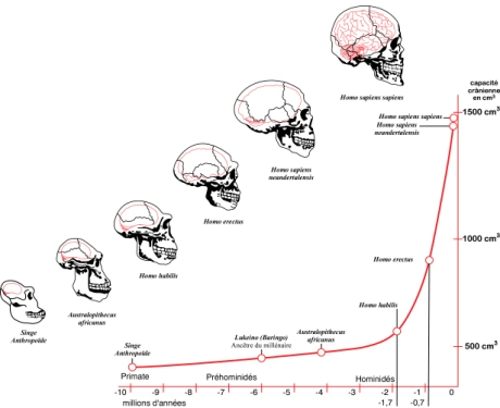 Hominid encephalization reveals an exponential growth curve.