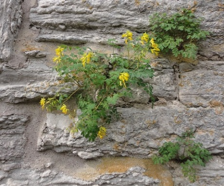 Tennyson would have recognized this flower in the crannied wall of Visby's ruins.