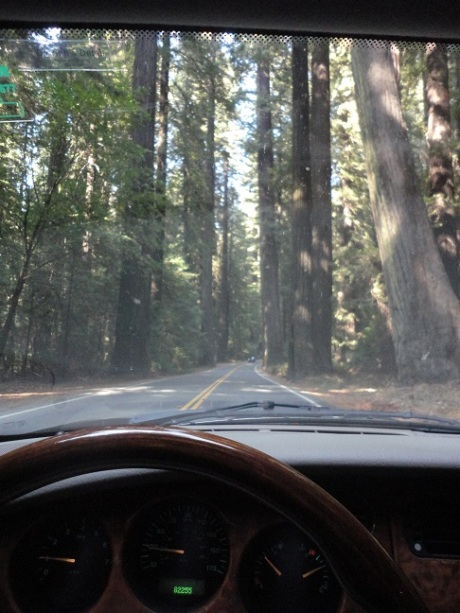 Driving through the Avenue of the Giants.