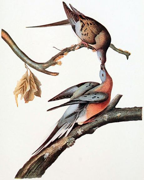 Zoological illustration from a volume of articles, The Passenger Pigeon, 1907 (Mershon, editor). Engraving from painting by John James Audubon in Pennsylvania, 1824.