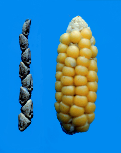 Early forms of maize, derived from the teosinte grasses of the Rio Balsas Valley in southern Mexican, a region contiguous with the tropical rain forests of Central America.
