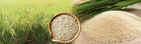 Rice was the basis of the agricultural economy of Indochina.