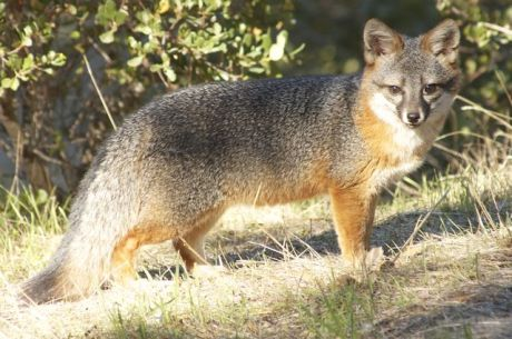The San Nicolas population of island foxes off the coast of California has perhaps the lowest genetic diversity of any mammal.