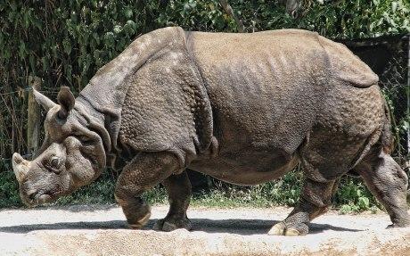 indian-rhino